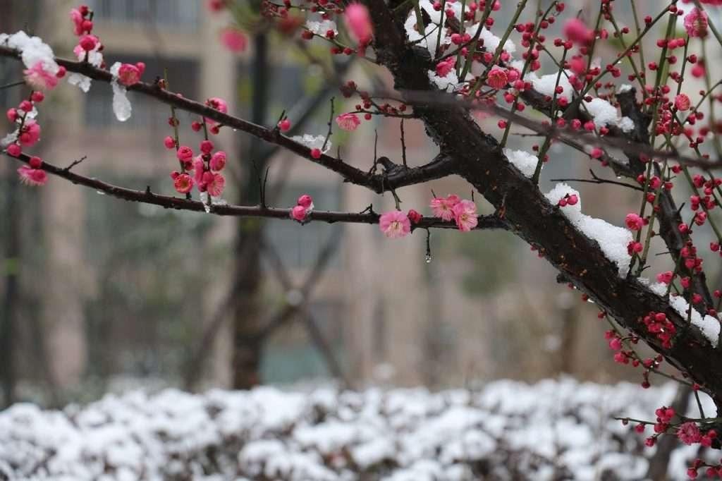 Rama de flores de ciruelo en la nieve - Instrucciones del linaje para el Fin de Año