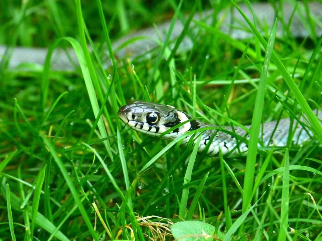 Una serpiente de bienvenida en la hierba · Eihei Kōroku