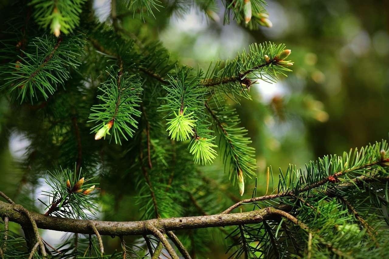 El significado del pino verde