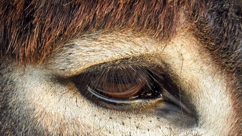 Un burro con un ojo vital · Eihei Kōroku